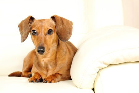 dachshund dog on sofa  photo