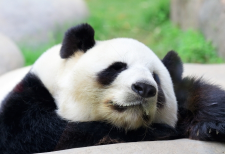 Sleeping Panda  photo