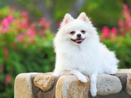 White Pomeranian dog Stock Photo - 17432342