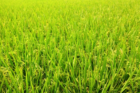 Paddy Rice  photo