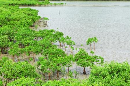 mangroves: Red Mangroves Stock Photo