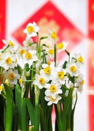 narcissus: narcissus flower for chinese new year Stock Photo