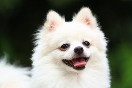 white pomeranian dog Stock Photo - 18811105