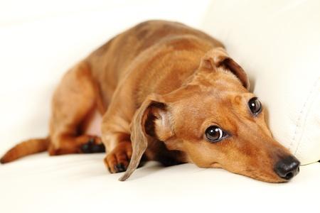 serves: dachshund dog on sofa