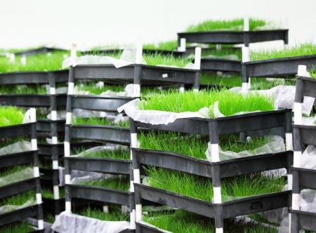 foretaste: Green grass in tray Stock Photo