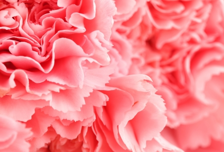 Pink carnation flower close up photo