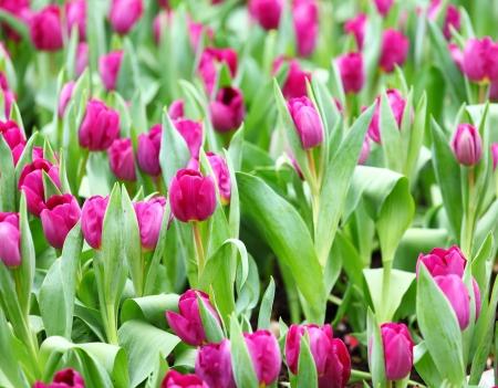 purple tulips flower photo