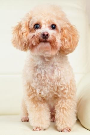 cerrar: Perro poodle retrato Foto de archivo