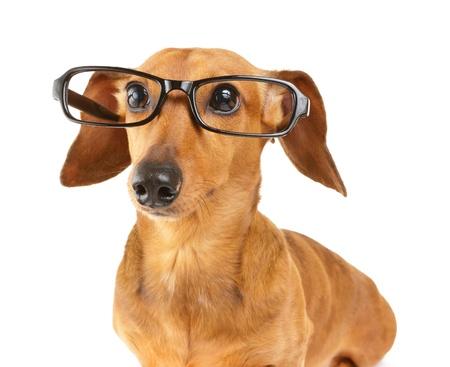 Dachshund dog wear glasses