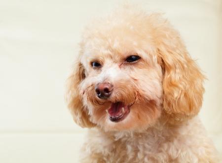 Dog poodle smile photo
