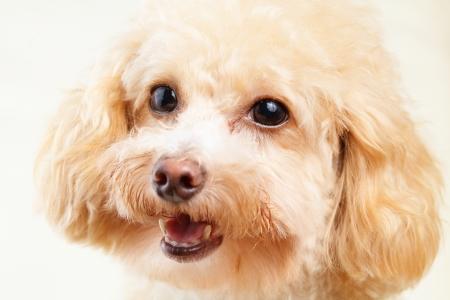 Dog poodle isolated on white background photo