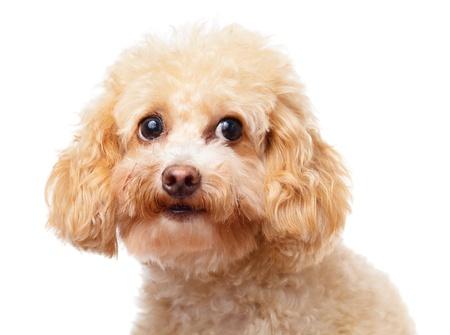Dog poodle close up photo