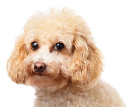 Dog poodle portrait