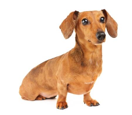 Dachshund dog portrait photo