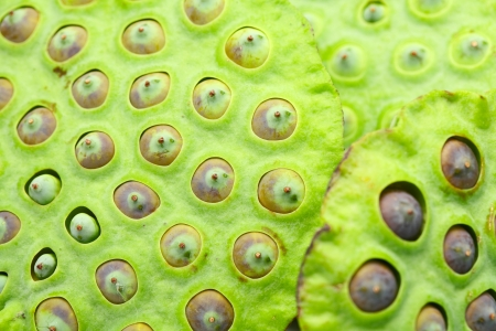 seedpod: Lotus seed pod close up