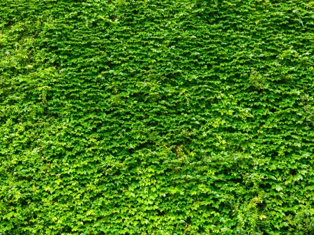ivy wall: Bright green ivy leaves background Stock Photo