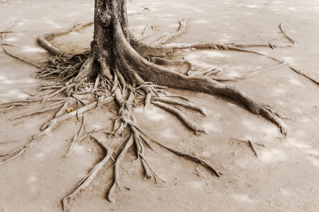 Tree root on dried land photo