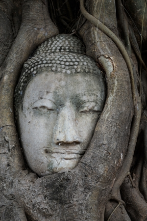 Head of Buddha in a tree trunk, Wat Mahathat photo