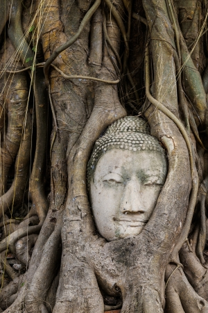 Old tree with buddha head in wat mahathat photo
