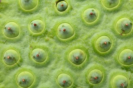 seedpod: Lotus seed pod close up