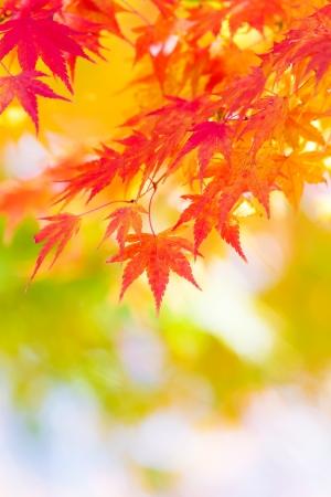 Maple tree in autumn photo