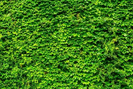 wall ivy: Pared verde hiedra Foto de archivo