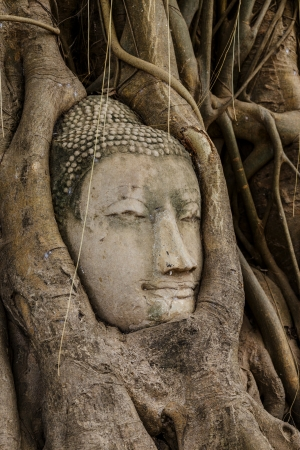 Buddha head in old tree photo