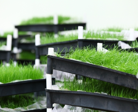 foretaste: Green grass in tray Stock Photo