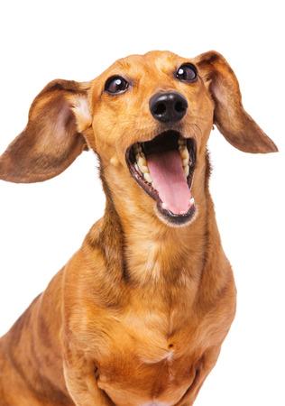 yelp: Dachshund dog yelling Stock Photo