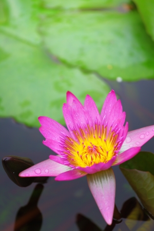 Waterlily in the lake photo