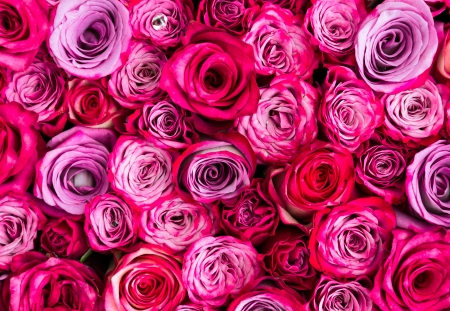 pink roses: Red rose Stock Photo