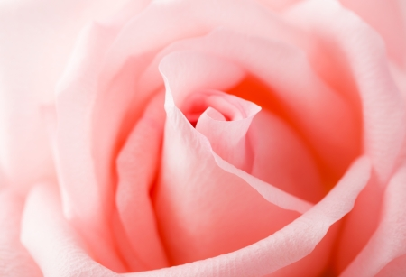 Pink Rose close up  photo