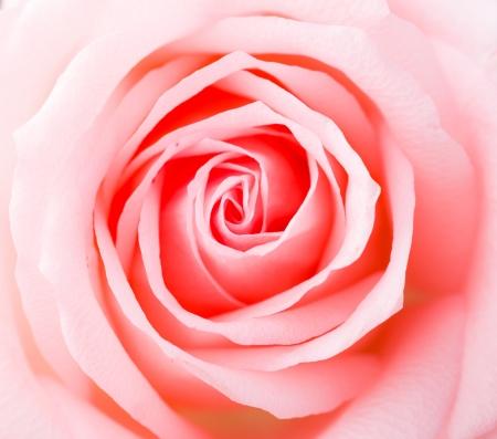 soft pedal: Rose