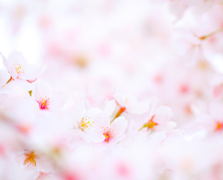Cherry Blossom at Sakura in Japan photo