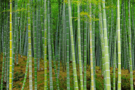 bamboo background: Bamboo forest