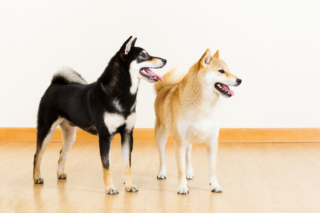 Two shiba looking aside photo