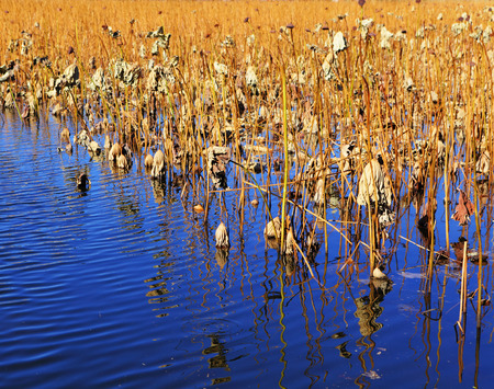 Dry lotus pond photo