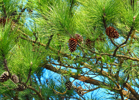 pine tree: Pine tree and pine cone Stock Photo