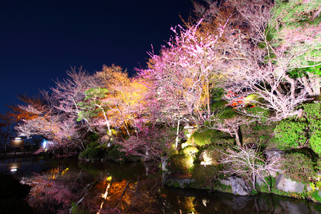 Sakura and river at night photo