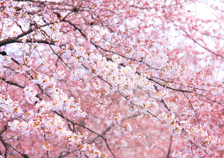 Pink sakura tree photo