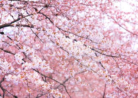 Pink sakura tree Stock Photo - 26016343