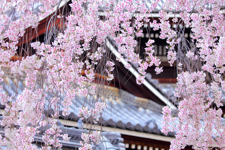 Weeping sakura tree with japanese temple photo