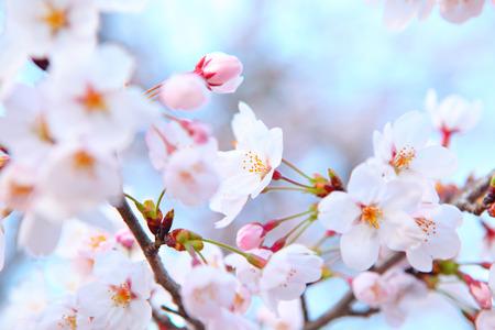 Sakura tree Stock Photo - 26016854