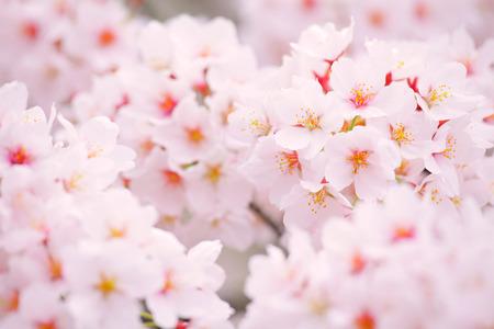 Sakura in pink photo