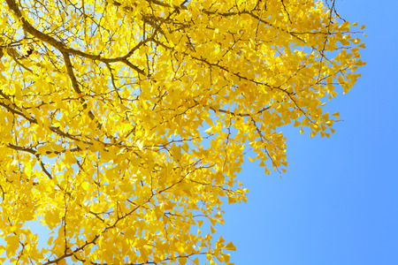 Gingko tree photo