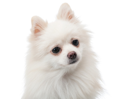 White pomeranian feeling curiosity Stock Photo