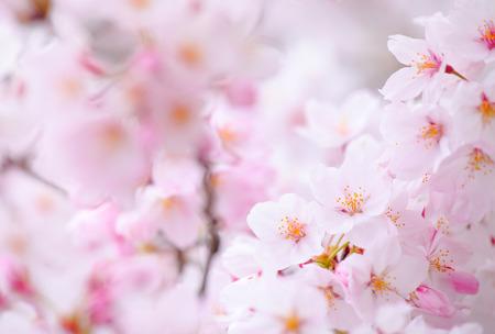 sakura arbol: Sakura �rbol Foto de archivo