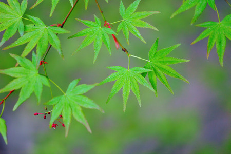 Green maple leaves Stock Photo - 28178001