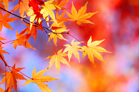 Autumnal maple leaves Stock Photo