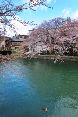 Lake Biwa Canal with sakura photo